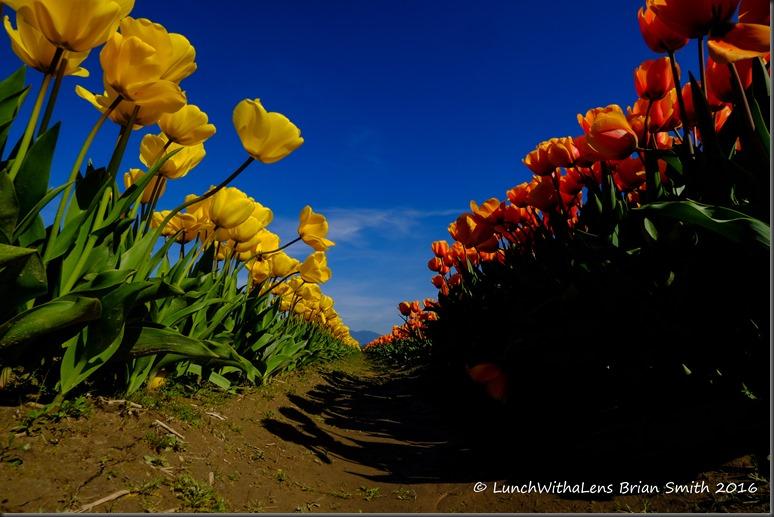 Tulips-141-2