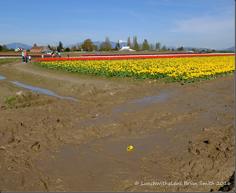 Tulips-146-2