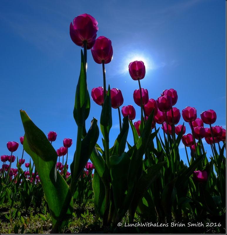 Tulips-158-2