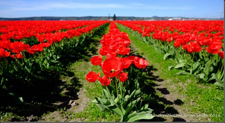 Tulips-4-2