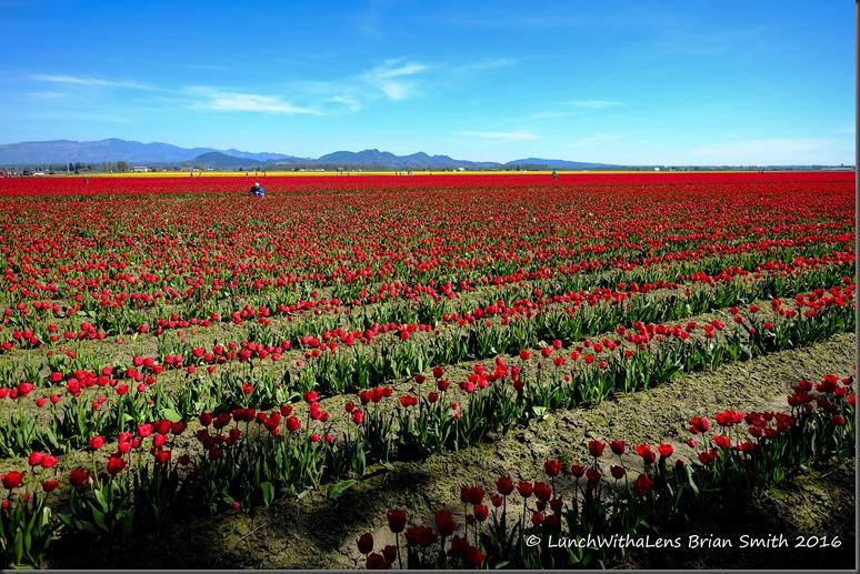 Tulips-73-2